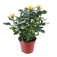 Rose Houseplant Yellow 17cm Pot