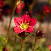 Saxifrage Marto Rose 10.5cm Pot Bedding