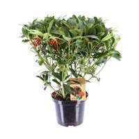 Skimmia Japonica 'Pabella' Shrub in 5lt Pot