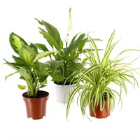 Spath Indoor Houseplants - Set of 3
