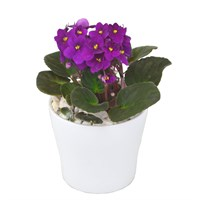 St Paulia (African Violet) Purple In White Ceramic Pot