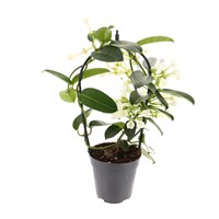 Stephanotis Houseplant 12cm Pot