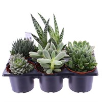 Succulents Set with Carry Handle - 6 x 10.5cm pots