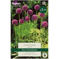 Taylors Bulbs Allium Giganteum - Single (TP694)