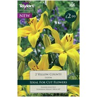 Taylors Bulbs Lily Yellow County - Pack of 2 (TP899)