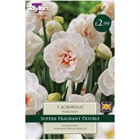 Taylors Bulbs Narcissi Acropolis - Pack of 5 (TP137)