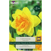 Taylors Bulbs Narcissi Apotheose - Pack of 5 (TP139)