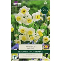 Taylors Bulbs Narcissi Avalanche - Pack of 5 (TP176)