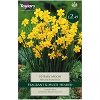 Taylors Bulbs Narcissi Baby Moon - Pack of 8 (TP203)