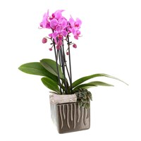 Treat Mum - Orchid Houseplant Planted Arrangement In Brown Pot