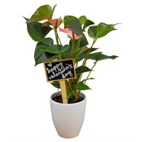 Valentine's Day Plant Pink Anthurium In White Ceramic Pot Gift