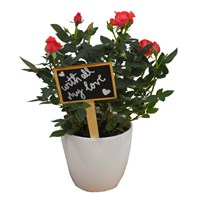 Valentine's Day Plant Pink Rose In White Ceramic Pot Gift