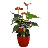 Valentine's Day Plant Red Anthurium In Red Ceramic Pot Gift