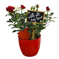Valentine's Day Plant Red Rose In Red Ceramic Pot Gift