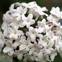 Viburnum Tinus 'Eve Price' Standards Specimen Shrub in a 30cm Pot