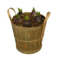 Wicker Basket Planted Bulbs Arrangement - Medium