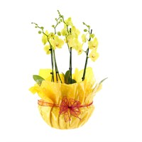 Orchid Yellow (Phalaenopsis) Double Stem Houseplant In Black Plastic Boat Gift Wrapped - 60 to 70cm