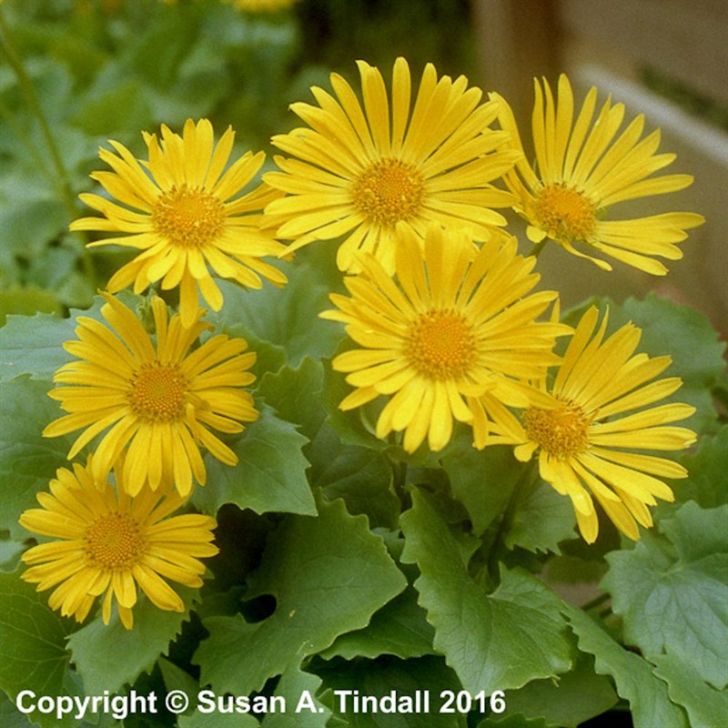 Little Leo S Nursery Fit For A King: Doronicum Little Leo Perennial Plant In A 9cm Pot