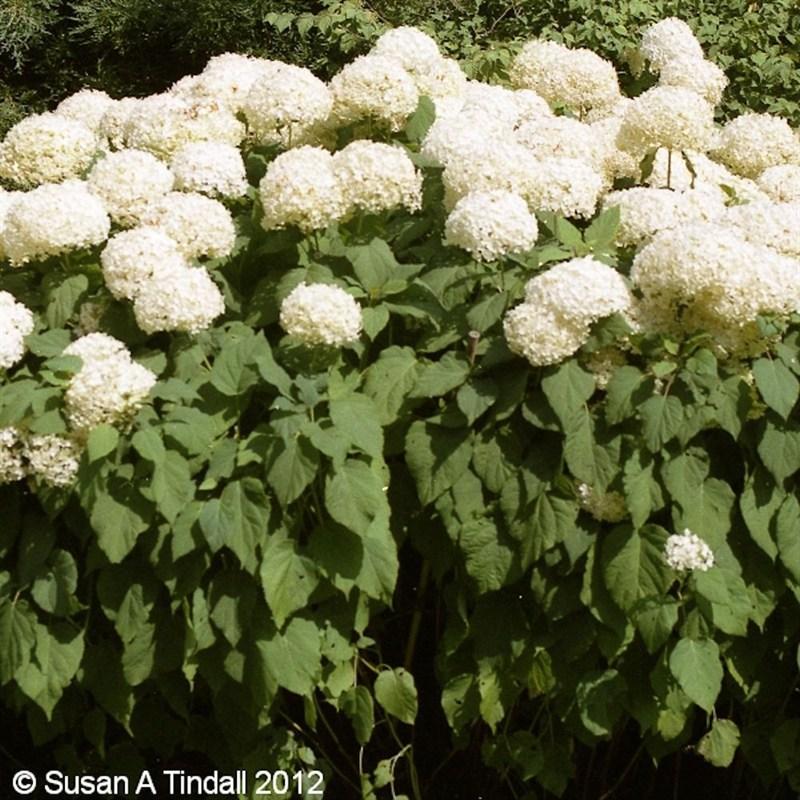 Hydrangea arborescens Annabelle in a 2L Pot