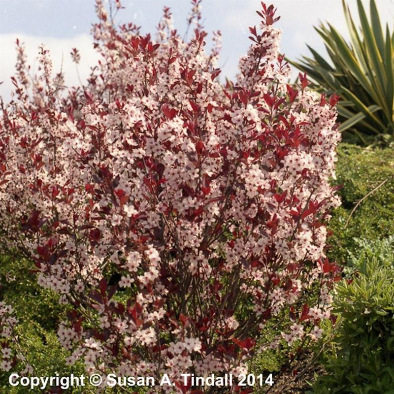 Prunus Crimson Dwarf Shrub In A 3l Pot