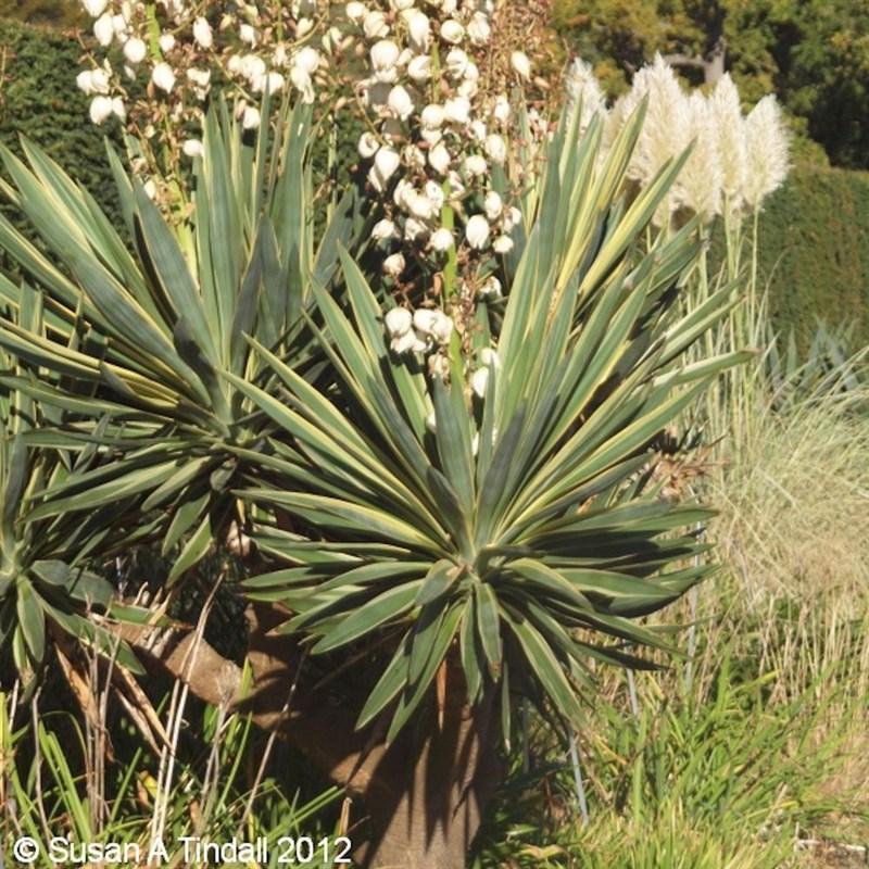 yucca gloriosa variegata 3l. Black Bedroom Furniture Sets. Home Design Ideas