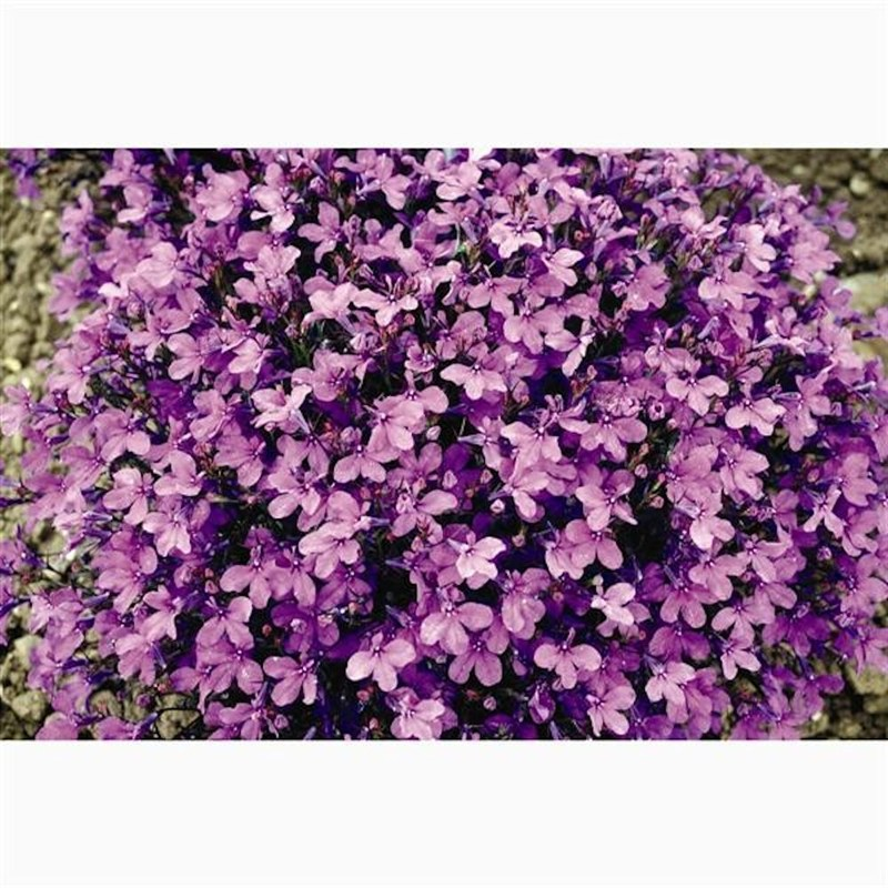 Lobelia Crystal Palace Bush 12 Pack Boxed Bedding