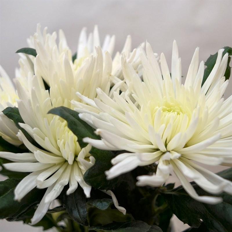 Chrysanthemum bloom anastasia x 4 stems white mightylinksfo