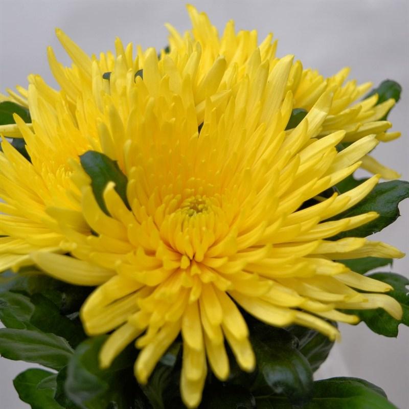 Chrysanthemum Bloom Anastasia X 4 Stems Yellow
