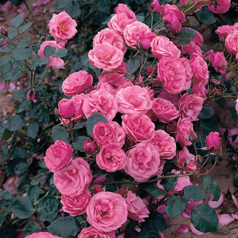 Pink Perpetue Climbing Amp Rambling Rose 3l Pot