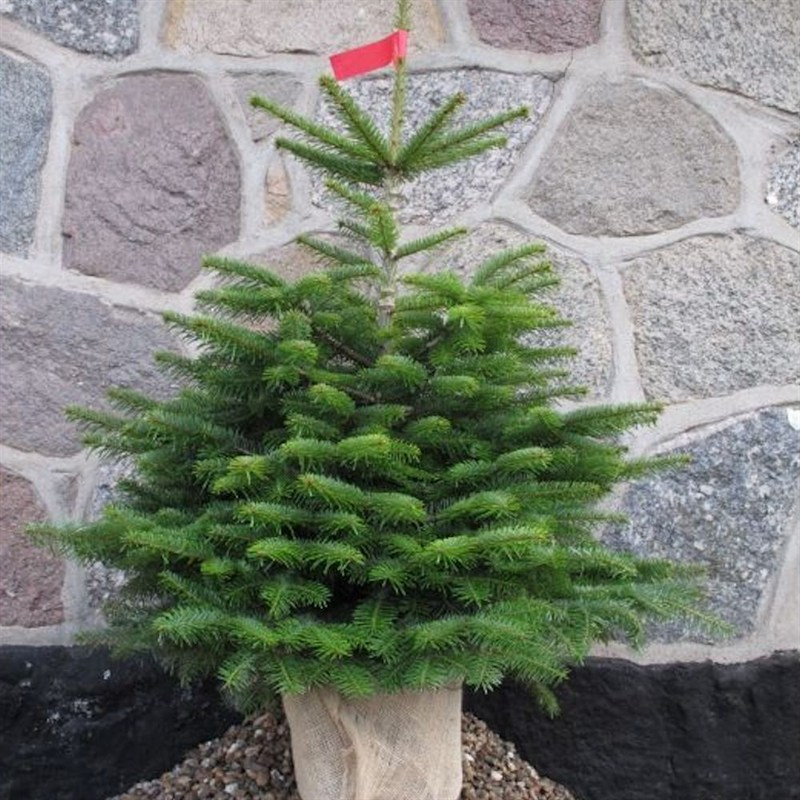 Nordmann Fir 4 5ft 125 150cm Real Pot Grown Christmas Tree
