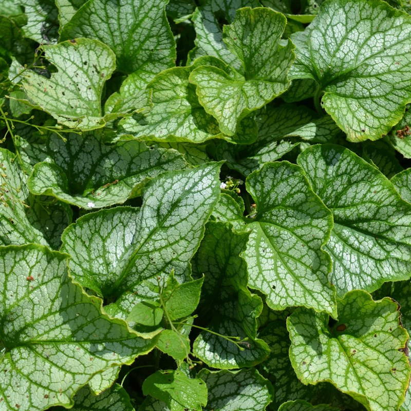 Brunnera Jack Frost Perennial Plant In A 9cm Pot