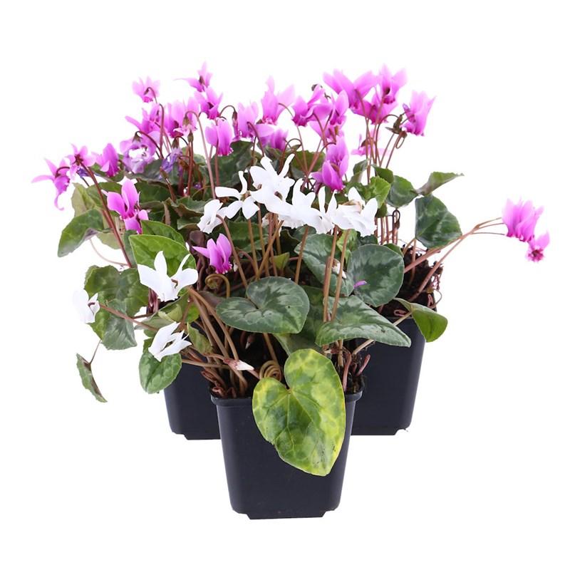9 cm pots Pack of 3 Cyclamen Plants in Ass Colours