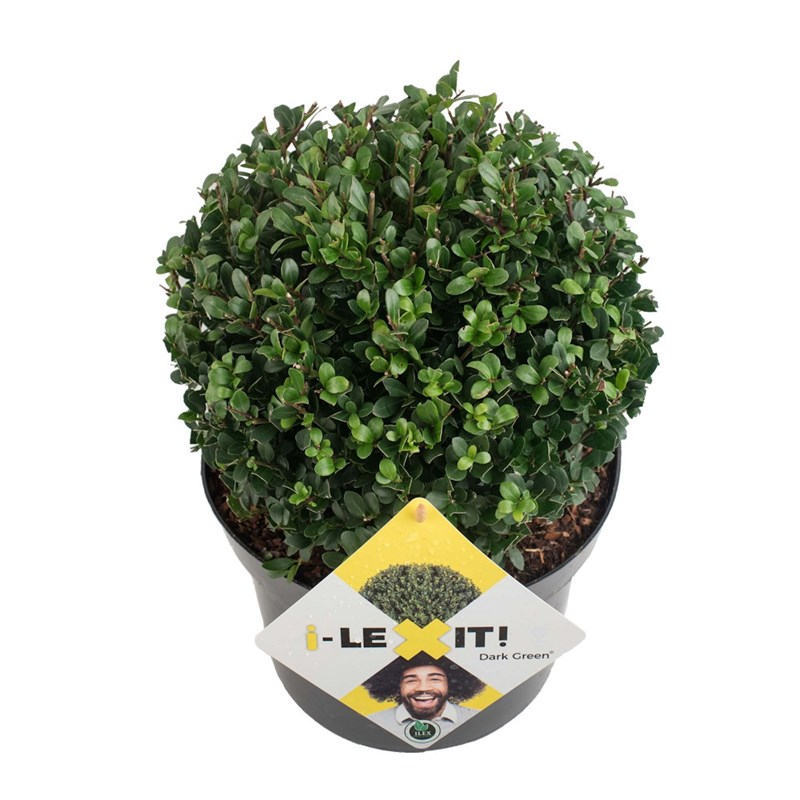 ilex crenata 39 dark green 39 ball shrub 23cm pot. Black Bedroom Furniture Sets. Home Design Ideas