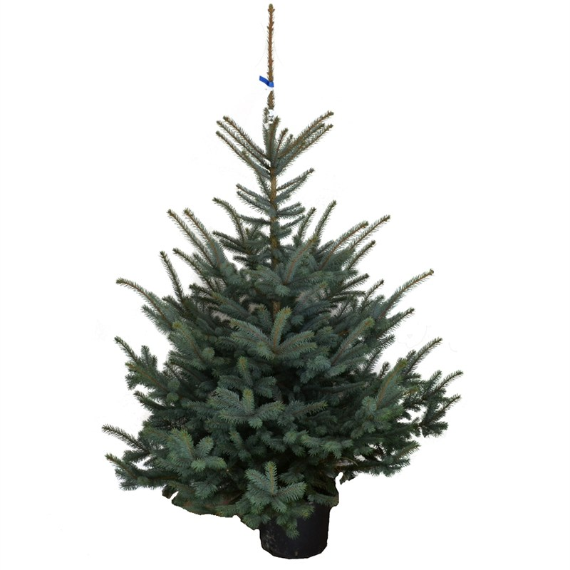 Potted Christmas Tree.Blue Spruce 1 5 2ft 60 80cm Real Potted Christmas Tree