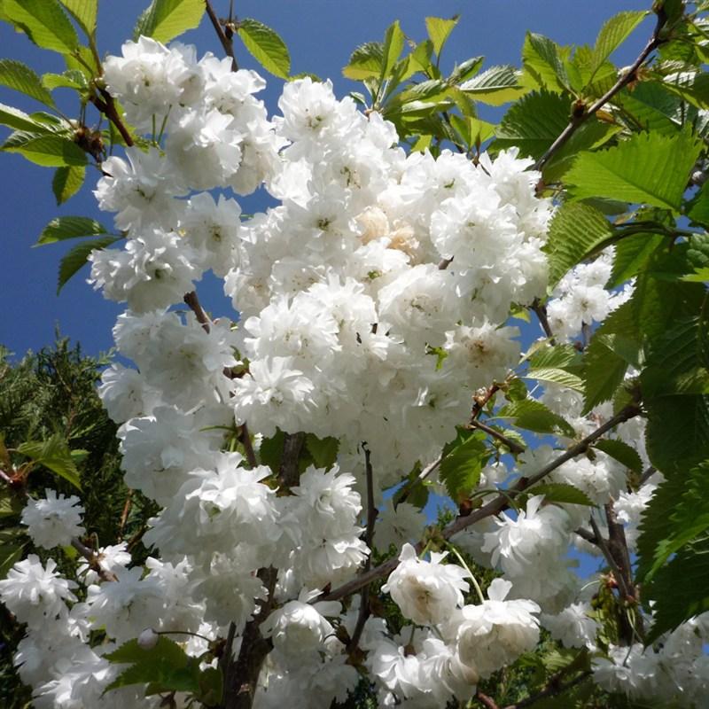 Prunus Avium Plena Tree