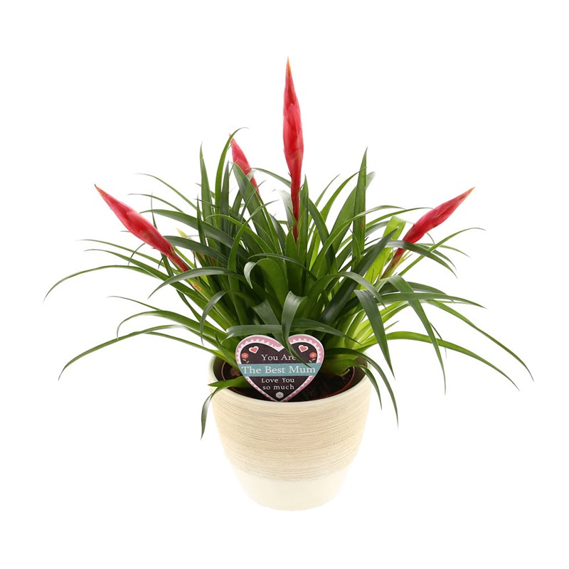 Vriesea Astrid Bromeliad House Plant In A Textured Cream 14cm