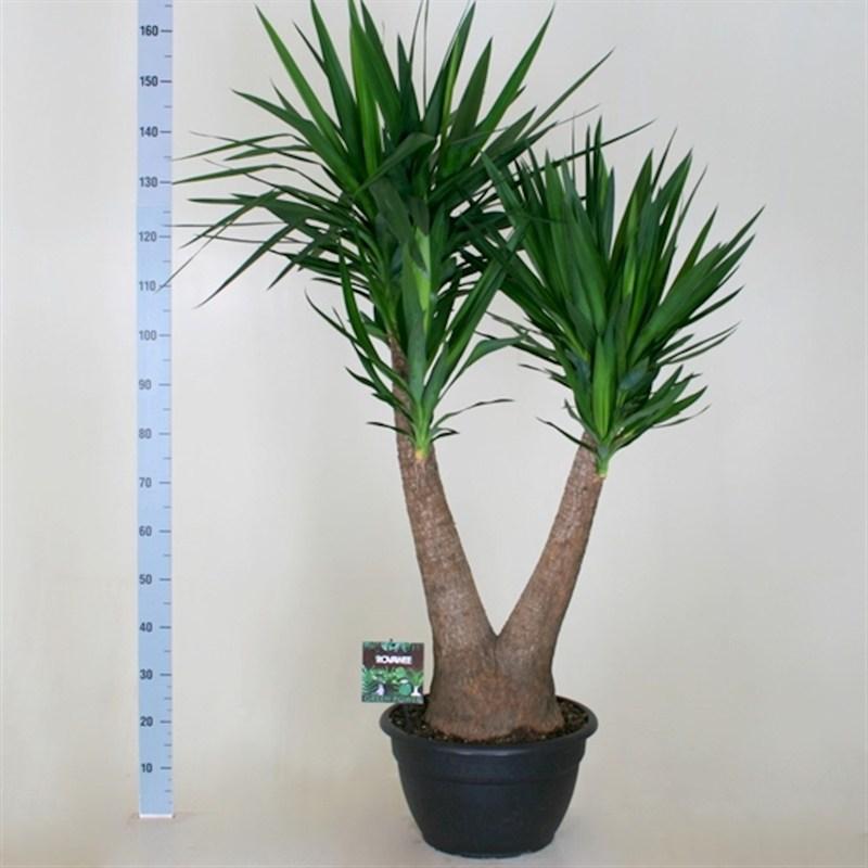 Top Yucca Elephantipes 2 Arm Houseplant 40cm Pot NQ03
